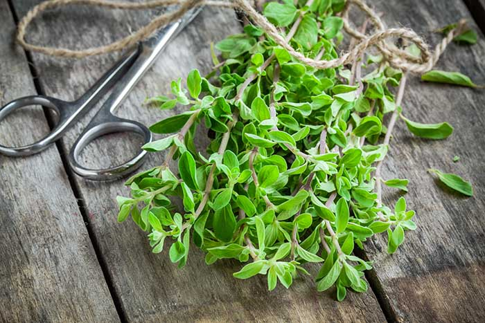 bunch of raw green herb marjoram